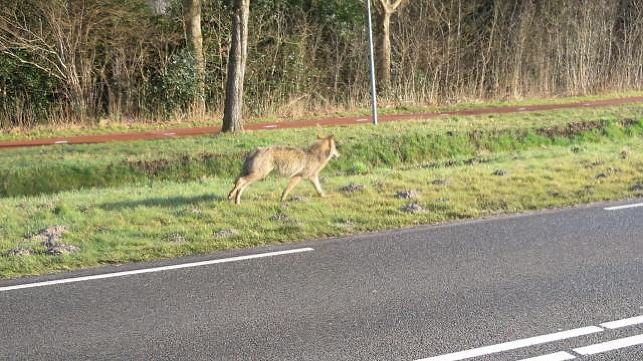 Groningse wolf was wild en Duits